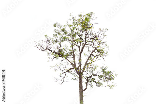 Isolated tree on white background.