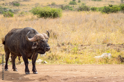 Staande foto Buffel Isolated buffalo in the savannah countryside of Nairobi Park in Kenya