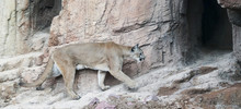 A Mountain Lion Returns To Its...