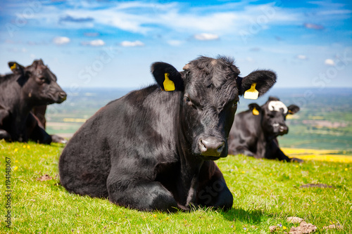 English rural landscape in with grazing Aberdeen Angus beef cattle