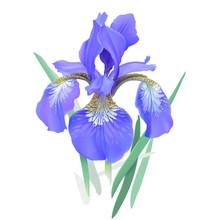 Iris Flower, Blue. Iris Sibiri...