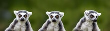 Lemur Catta - Portrait Of The Animal