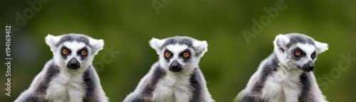 lemur catta - portrait of t...