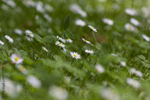Fotografie, Obraz  Leucanthemum vulgare in garden
