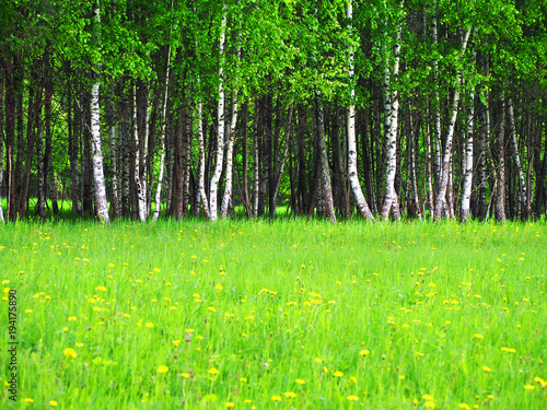 Papiers peints Bosquet de bouleaux birch grove in early spring on a sunny day, fresh greens, young green leaves in the sunlight. Beautiful birch forest, sunny landscape. Field with blooming dandelions, meadow, sunbeams