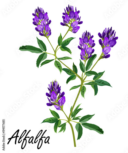 Photo Alfalfa (Medicago sativa, lucerne)