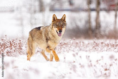 Wolf im Winter Poster
