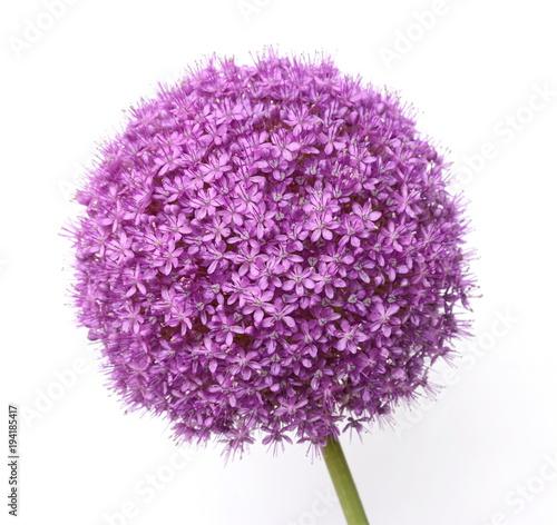 Purple Allium isolated on white Canvas Print