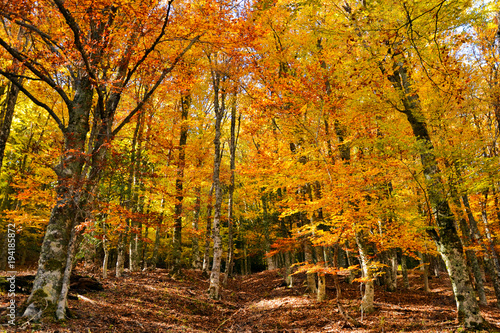Tuinposter Weg in bos Beech forest of Montejo (Spain), the shouternmost beech forest of Europe