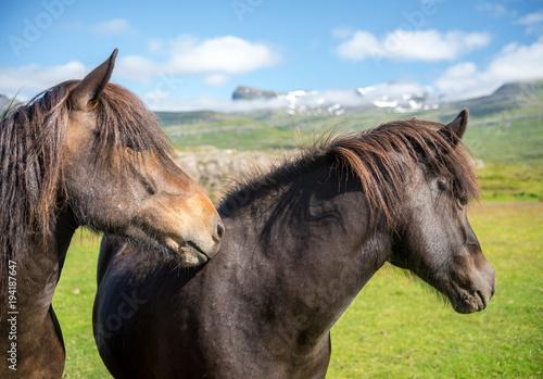 Keuken foto achterwand Buffel A herd of Icelandic horses in a pasture in Iceland