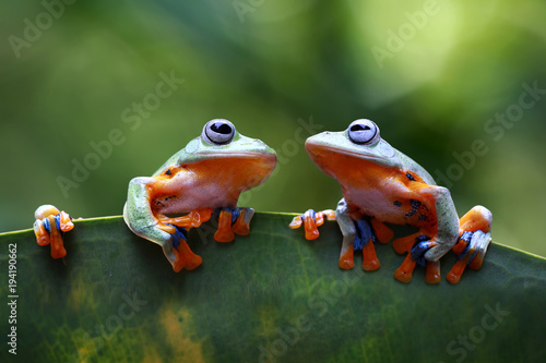 Tree frog, Javan tree frog on leaves, flying frog face to face, tropical animals