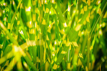 Dark Version. Close Up Background Texture Of Striped Grass. Green And Yellow Grass As Background