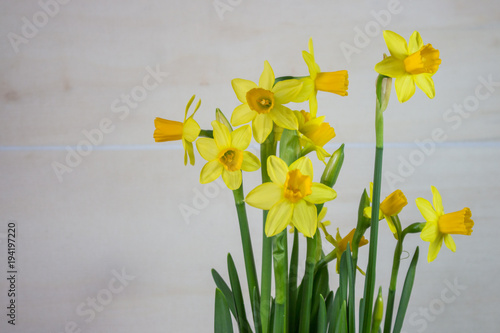 In de dag Narcis Yellow narcissus or daffodil flowers on light background