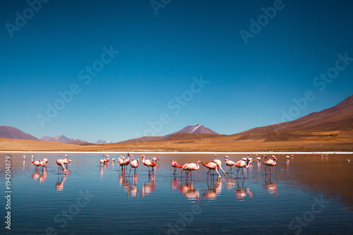 flamingos in bolivia near to uyuni salt flat South America