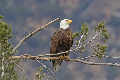 Bald eagle on tree branch perch portrait