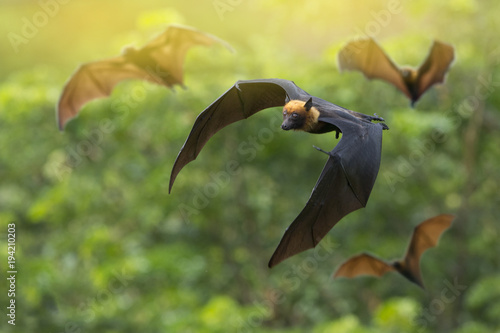Fotografía  The bat flock is flying.( Lyle's flying fox)