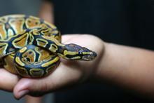 Beginner And Popular Snake For...