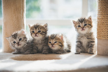 Group Persian Kittens Sitting ...