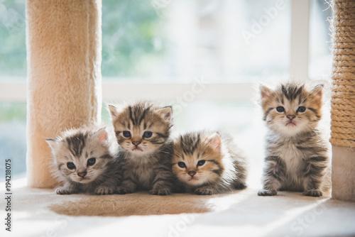Group persian kittens sitting on cat tower Wallpaper Mural