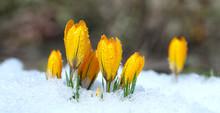Flowers Grow Under Snow On A S...
