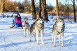Girl riding on sled pulled by Siberian huskies. Sled dogs husky harnessed to sports sledding with dogsled on skis. Sports races with animals in sleds