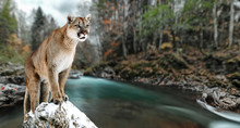 Portrait Of A Cougar, Mountain...