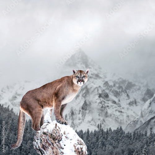 Poster Puma Portrait of a cougar, mountain lion, puma, panther, striking a pose on a fallen tree, winter mountains