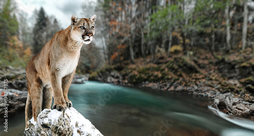 Photo  Portrait of a cougar, mountain lion, puma, panther, striking a pose on a fallen tree