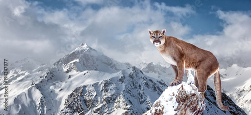 Spoed Fotobehang Puma Portrait of a cougar, mountain lion, puma, panther, striking a pose on a fallen tree, winter mountains