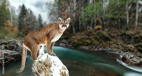 Poster Puma Portrait of a cougar, mountain lion, puma, panther, striking a pose on a fallen tree. Gorge of the mountain river
