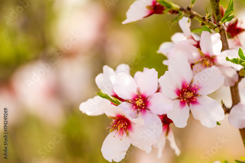 Beautiful almond blossoms on the almont tree branch плакат