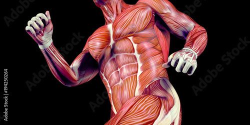 Human Male Body Anatomy Illustration With Visible Muscles Buy This