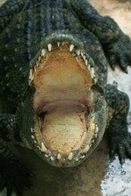Open Mouth Of A Crocodile