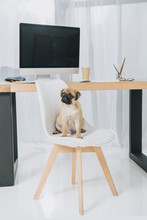 Cute Pug Sitting On Chair In Office