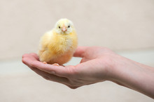 Hand Holding A Small Yellow Ch...