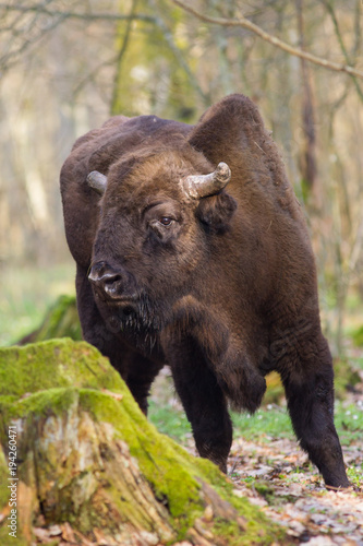 Staande foto Buffel Żubr