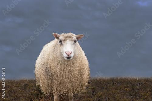 Staande foto Schapen einzelnes Schaf auf der Wiese vor dunklem Himmel