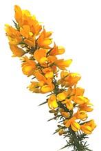 Stechginster (Ulex Europaeus) Blühender Zweig Freigestellt Vor Weißem Hintergrund