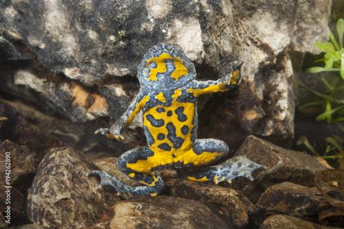Gelbbauchunke (Bombina variegata) - Yellow-bellied toad