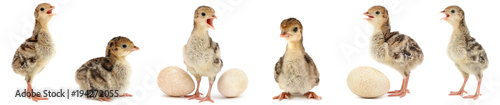 Set cute fluffy chickens turkey isolated on white
