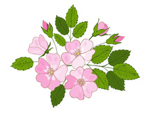 Branch Of Blossoming Dogrose. Flowers And Buds Of Dog Rose