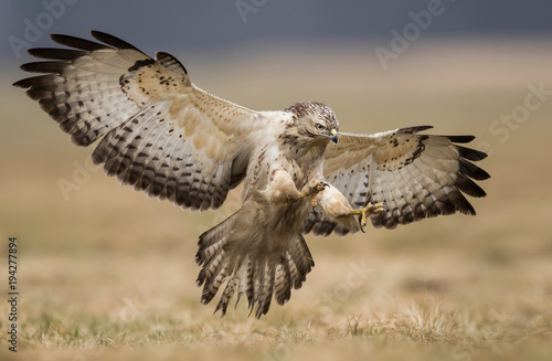 Common buzzard (Buteo buteo) Canvas Print