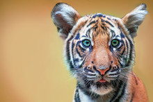 Cute Tiger Cub With Green Eyes...