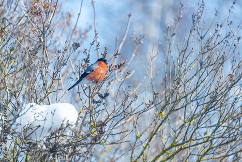 Fotomural red-breasted bullfinch on a sunny winter day sits on a branch