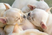 Cute Little French Bulldog Sle...