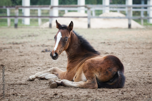 Vászonkép A pretty horse foal lying and look back in a summer paddock