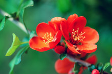 Flowering Quince (Chaenomeles ...