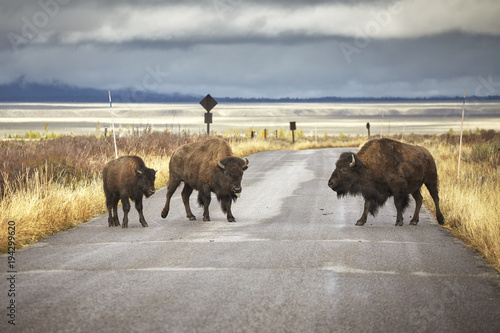 American bison family cross a road in Grand Teton National Park, Wyoming, USA.