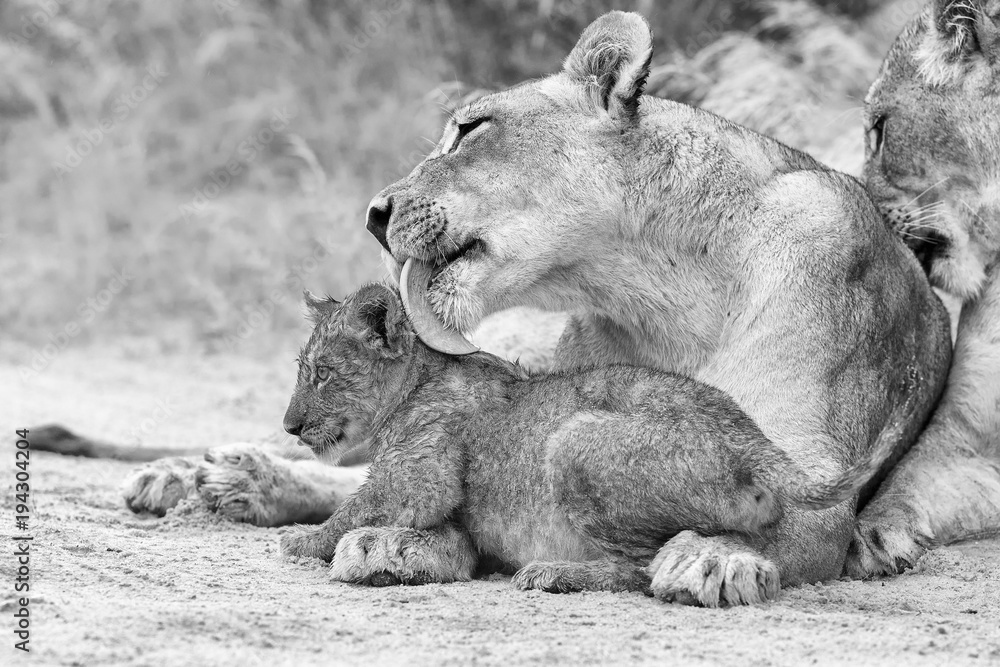 Lioness licks her cub to dry it of the rain drops in artistic conversion