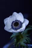 one white anemone flower with green leaves isolated on black